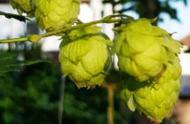 how to grow hops in your garden or allotment